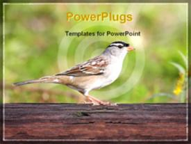 Adult white crowned sparrow perched on a branch template for powerpoint