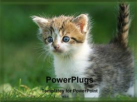 PowerPoint template displaying curious gray, white, and brown kitten with blue eyes plays in grass
