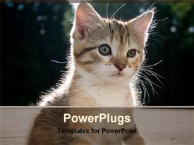 PowerPoint template displaying kitten watching at something in front of it, focused little cat on blurred background