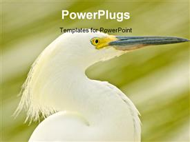 Close-up of a snowy egret with an out of focus background powerpoint design layout