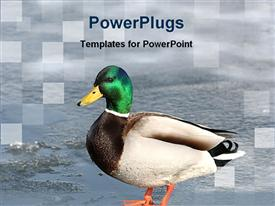 Colorful duck powerpoint theme