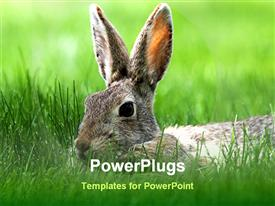 PowerPoint template displaying cottontail bunny in tall green grass in the background.