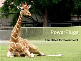 PowerPoint template displaying giraffe relaxing in front of tree at zoo