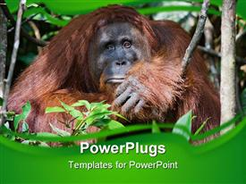 PowerPoint template displaying a gorilla sitting in the bushes in the forest environment
