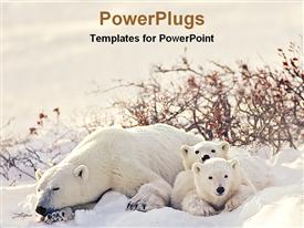 PowerPoint template displaying big polar bear with two cubs lying on snow