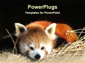 PowerPoint template displaying a panda resting with black background