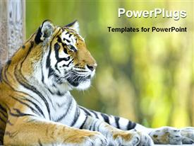 PowerPoint template displaying tiger resting at the zoo in the background.