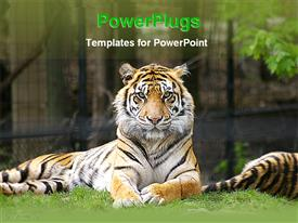 PowerPoint template displaying tiger in the zoo in the background.