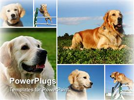 PowerPoint template displaying composite depiction with purebred dogs and puppies golden retriever in the background.