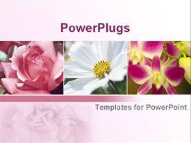 Pink rose and white cosmos plus orchid on pink background powerpoint template
