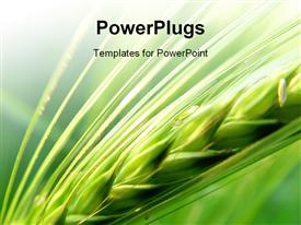 PowerPoint template displaying grain in the field
