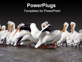 PowerPoint template displaying more pelicans in Lockport with his wings open looking like he wants a hug