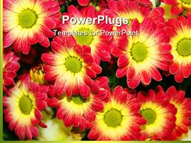PowerPoint template displaying multiple beautiful red and yellow chrysanthemum flowers planted in garden