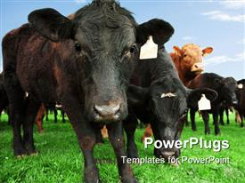 Close-up of beef cow with other cattle in background template for powerpoint