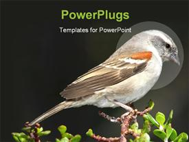 Female of hen Cape sparrow perched on top of a tree powerpoint theme