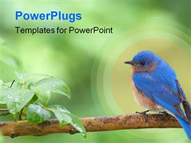 Horizontal photo of Eastern Bluebird perched on limb powerpoint theme
