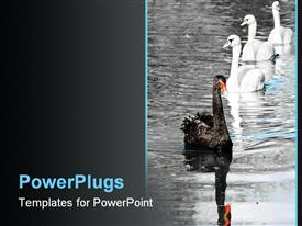 PowerPoint template displaying black swan leads group of three white swans
