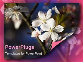 Apple blossom flower (useful background). Soft focus powerpoint design layout