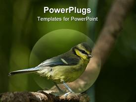 PowerPoint template displaying blue Tit fledgling waiting to join other birds on feeder