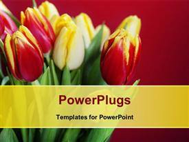 PowerPoint template displaying beautiful red and white roses bouquet over red background