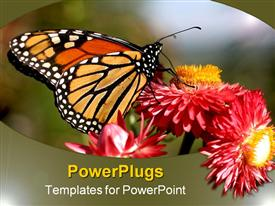 PowerPoint template displaying monarch butterfly on red and orange flowers, nature