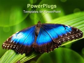 PowerPoint template displaying blue morpho butterfly with open wings on a leaf