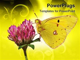 PowerPoint template displaying yellow butterfly on clover flower, butterfly sucking nectar from pink flower