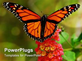 Colorful Monarch butterfly with wings spread collecting pollen from a lantana flower powerpoint design layout