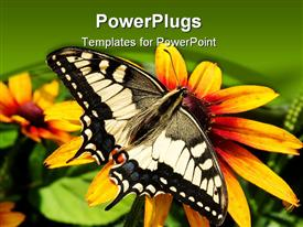 PowerPoint template displaying a close up view of a large butterfly restig on a sun flower