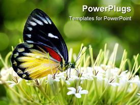 PowerPoint template displaying close up of butterfly sitting on small white flowers