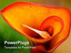 PowerPoint template displaying beautiful orange and red calla lily in full bloom in the background.