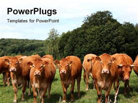 PowerPoint template displaying row of inquisitive cows facing the camera in a pasture with a forest backdrop and blue sky