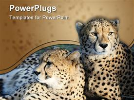 PowerPoint template displaying two wild cats cheetah cats resting together on the ground