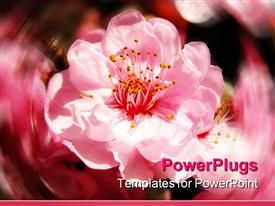 PowerPoint template displaying close up of pink cherry blossoms flowers with blurry background