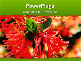 PowerPoint template displaying a beautiful view of the scarlet flower along with leaves