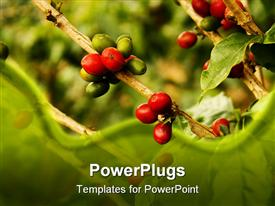 PowerPoint template displaying coffee plants to mature. Colombian Green Coffee