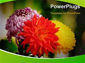 Colorful autumn chrysanthemums in the garden powerpoint theme