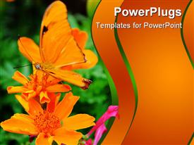 PowerPoint template displaying orange colored butterfly perching on an orange colored flower
