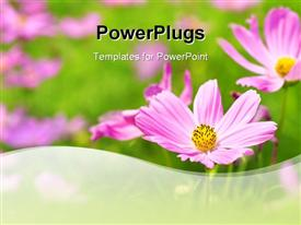 Landscape of Pink Cosmos Garden. Focus on foreground powerpoint design layout