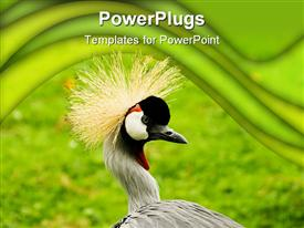 South African Crowned Crane (Balearica regulorum) - landscape orientation powerpoint design layout