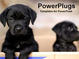 PowerPoint template displaying two black puppies, one sad face puppy looking at the camera and one puppy fading into background