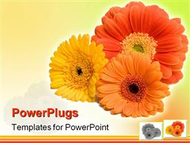 PowerPoint template displaying close up of three Gerber daisy flowers in red, orange, yellow