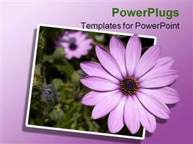 PowerPoint template displaying purple osteospermum African daisy flowers, green leaves, ombre background