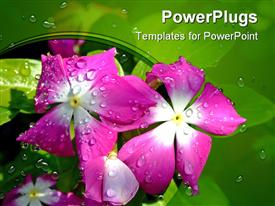 PowerPoint template displaying violet flower with water drops in a morning, macro close up shot