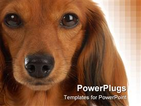 Head portrait of long haired dachshund powerpoint template