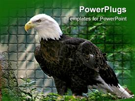 PowerPoint template displaying american bald eagle standing on a rock