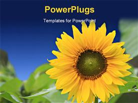 PowerPoint template displaying beautiful sunflower with green leaves and blue color
