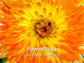 Very close-up shot of an orange and yellow Pot or Scotch Marigold Latin name Calendula powerpoint template