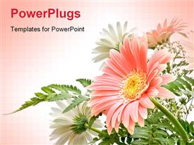 PowerPoint template displaying elegant composition of Gerbera flowers with delicate colors