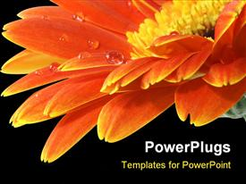 Orange gerbera daisy on the black background with reflection template for powerpoint
